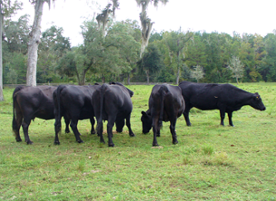 Black cows, Cattle Ranchers in Northdale, FL
