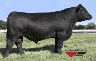 Var Discovery, Registered Black Angus and F1 Brangus Breeder in Tampa, Florida